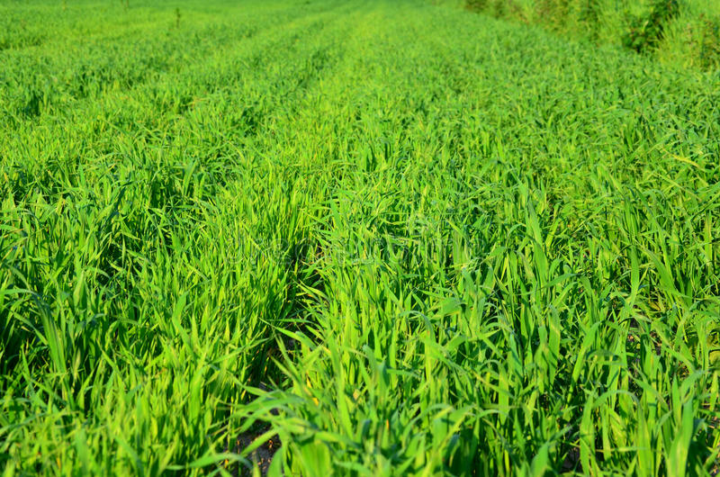 Green field of grain. In summer time royalty free stock images