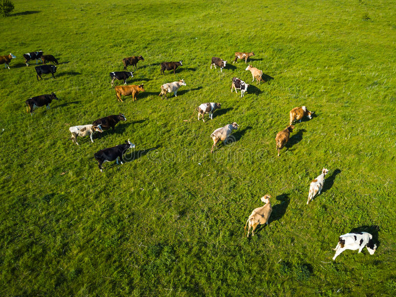 Green field with grazing cows. Aerial background of country land. Green field with grazing cows. Aerial background of green meadow stock photos
