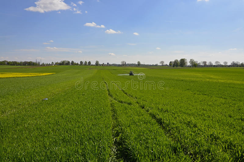Green field of growing wheat royalty free stock photography