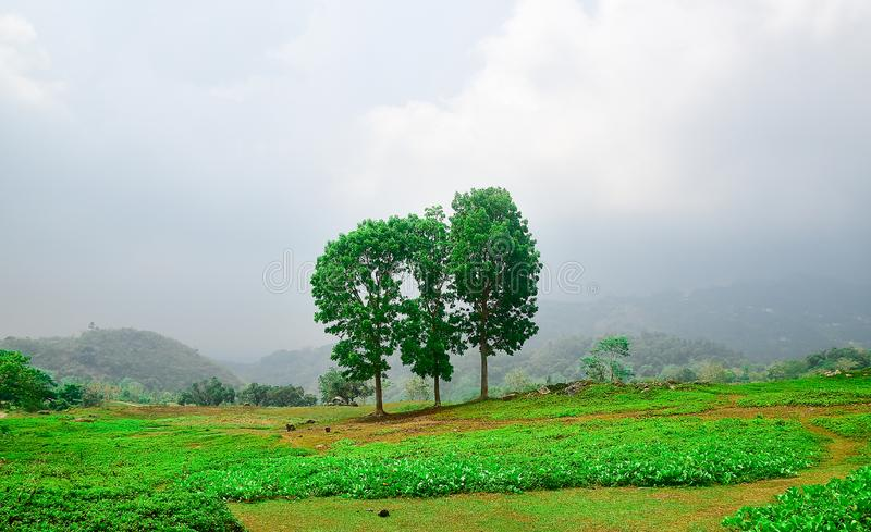 Green field with mahogany tress landscape. Green field with mahogany tress and grass landscape in a foggy background royalty free stock images
