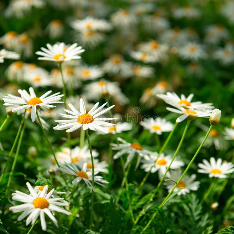 Green field with many white flowers. Of Matricaria plants royalty free stock photography
