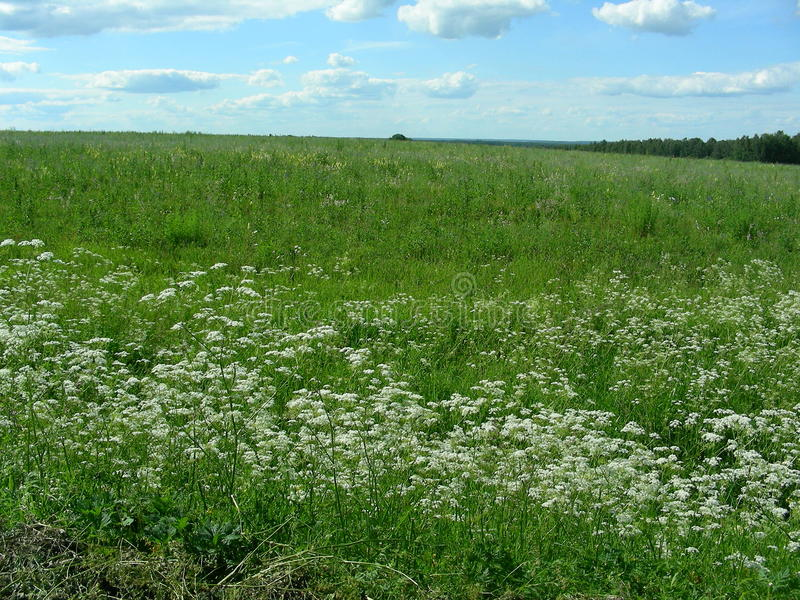 On the Green Field, a meadow covered with white flowers stock images