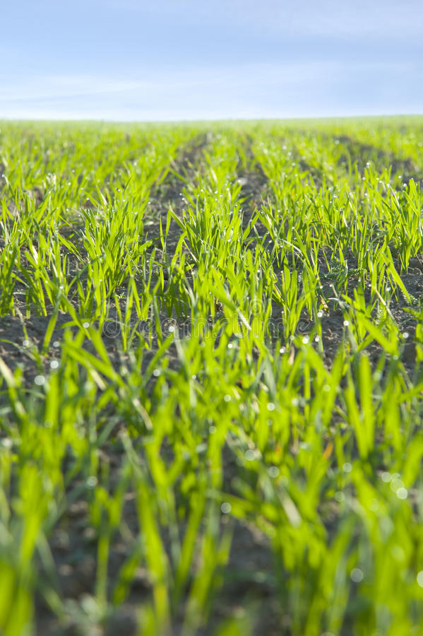 Green field. With new seedlings on blue sky background royalty free stock photo