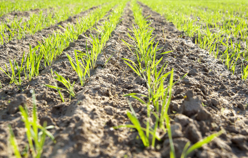 Green field with new seedlings. Green rows of new seedlings on field stock photo