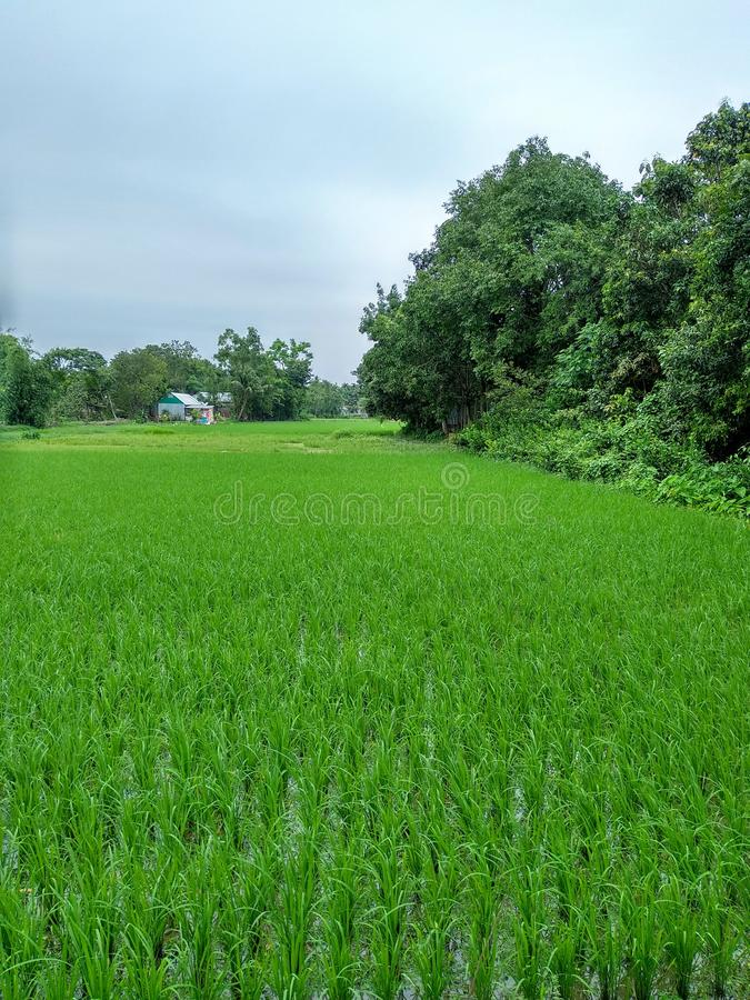 Green Field. This picture had taken from Shuhilpur, Brahmanbaria, Bangladesh. Nature of beauty royalty free stock photography
