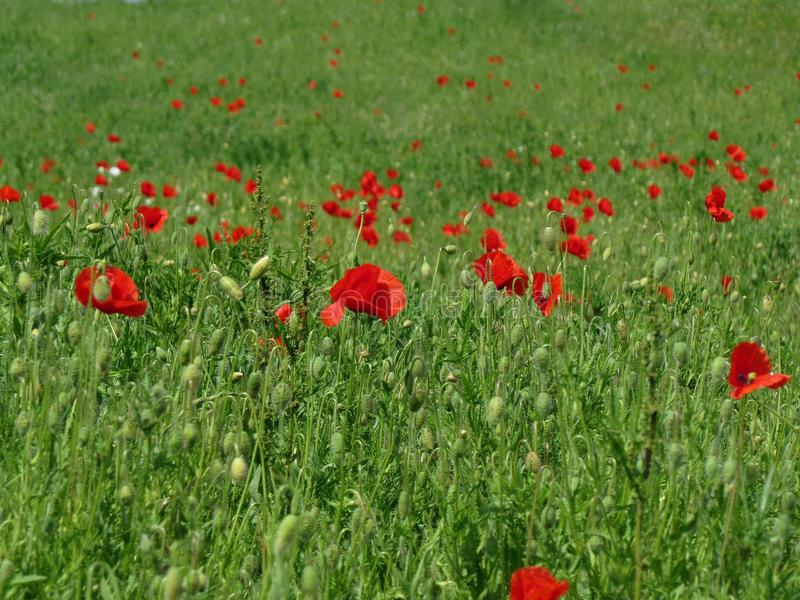 Green field with poppies stock photo