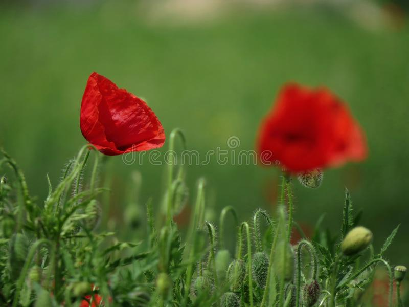 Green field with poppies royalty free stock photography