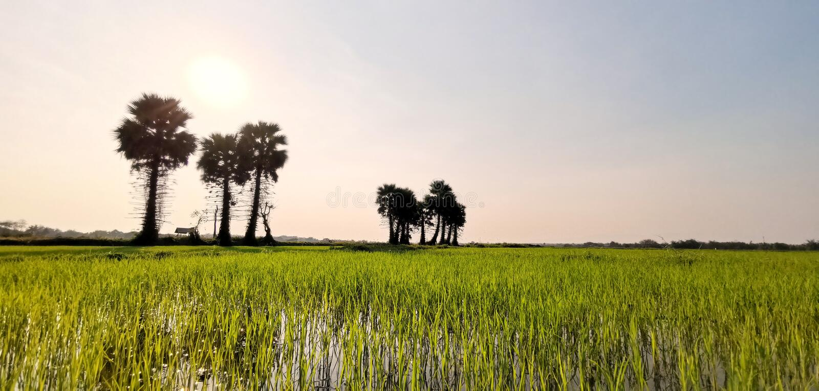 Green field or rice farm with sugar palms in Thailand. Landscape tree view plant nature sky sunset beautiful water asia tropical summer rural travel asian royalty free stock image