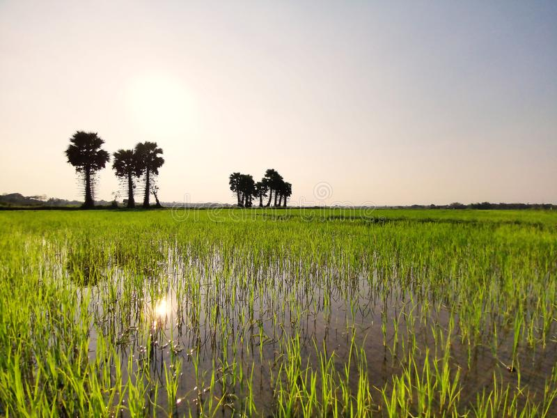 Green field or rice farm with sugar palms in Thailand. Landscape tree view plant nature sky sunset beautiful water asia tropical summer rural travel asian stock photos