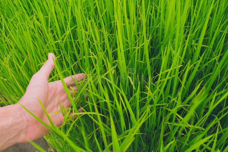 Green field rice with hand stock images