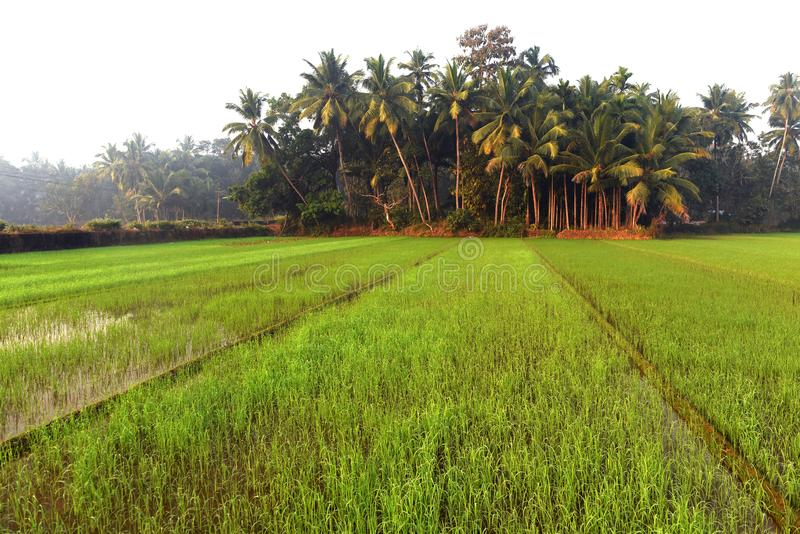 Green field of rice in India royalty free stock photo