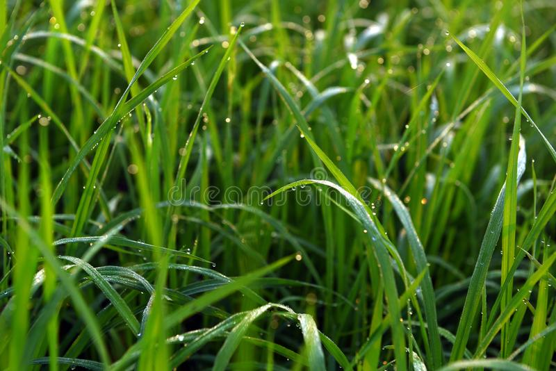 Green field of rice in India stock image