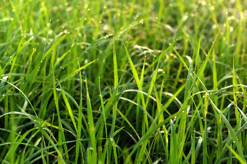 Green field of rice in India royalty free stock images