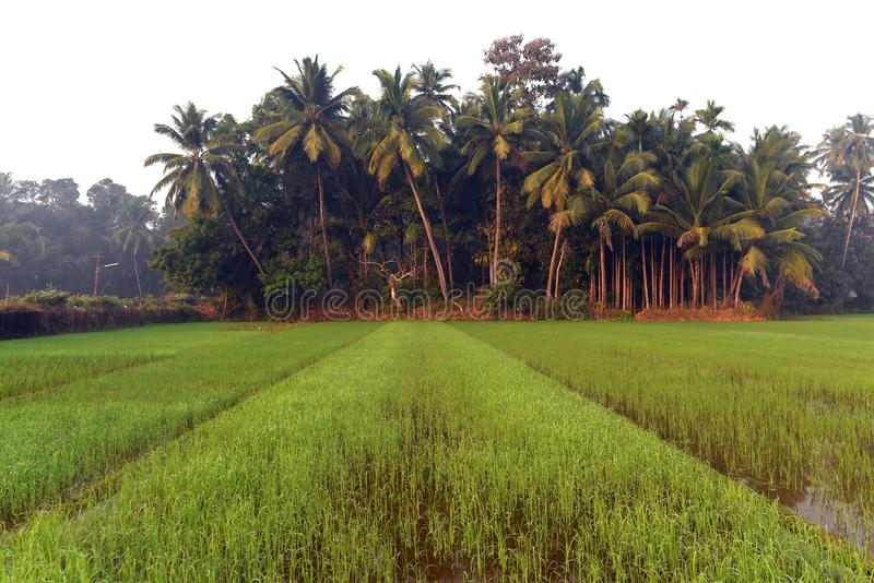 Green field of rice in India stock images
