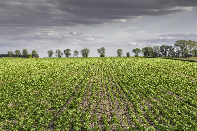 Green field with rows stock image