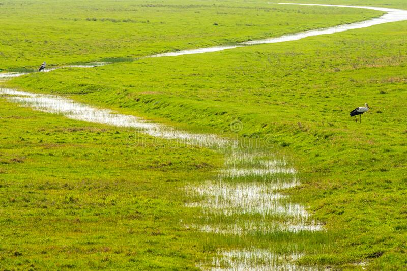 Green field with storks and river with grass. Two storks in green valley with muddy water flow in daytime royalty free stock photos