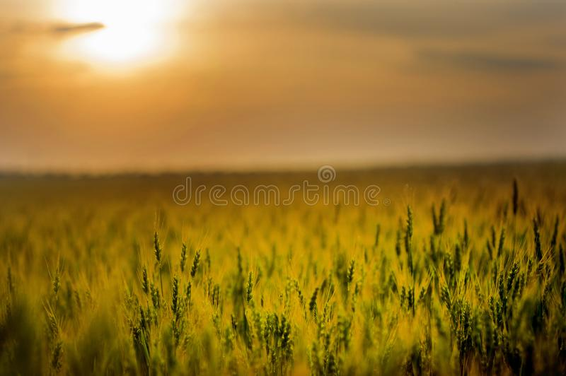 Green Field during Sunset royalty free stock images