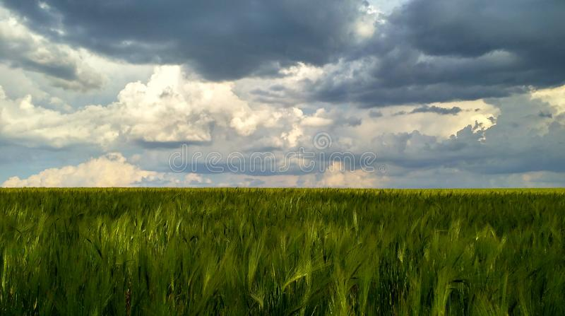 Green field of wheat against the backdrop of a stormy sky before the rain_4 royalty free stock photography