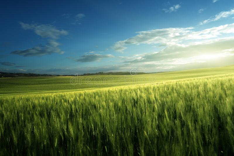 Green field of wheat in Tuscany stock images
