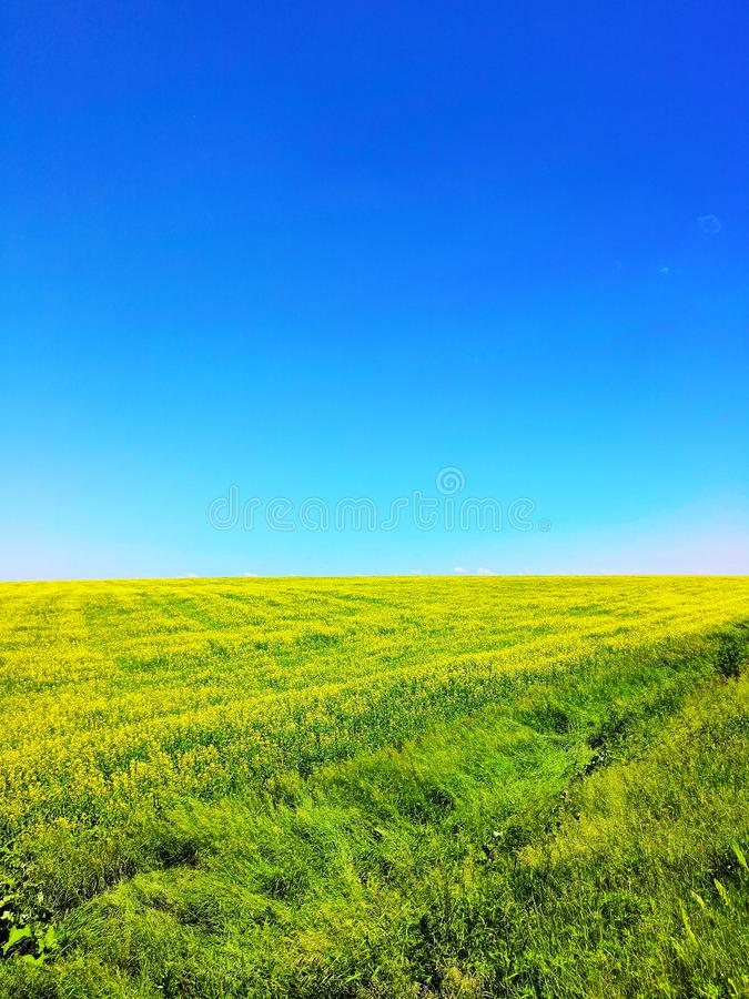 Field with yellow flowers and bright blue sky in summer .Green field and sky. Perfect green field and sky stock photos