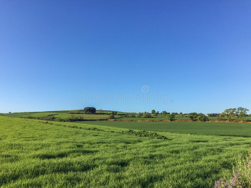 Green fields planted with wheat before harvesting stock photo