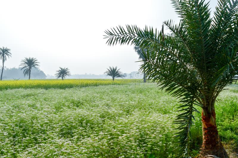 Green fields and trees in a scenic agricultural landscape in rural Bengal, North East India. A typical natural scenery with an stock photos
