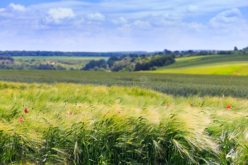 Green fields of wheat, rye, soy and corn. Blue sky with cumulus royalty free stock photos