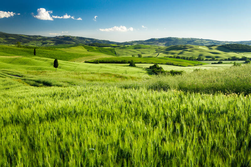Green fields of wheat in Tuscany stock image