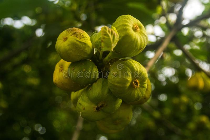 Green figs in a brach of a tree stock photos