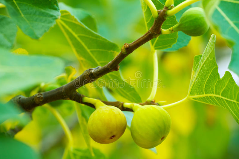 Download Green figs on the tree stock photo. Image of food, edible - 26913244