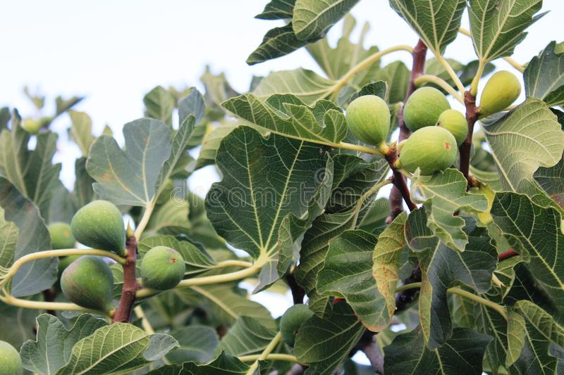 Green figs on the tree. Ficus carica is an Asian species of flowering plant in the mulberry family, known as the common fig or just the fig. It is the source of royalty free stock images
