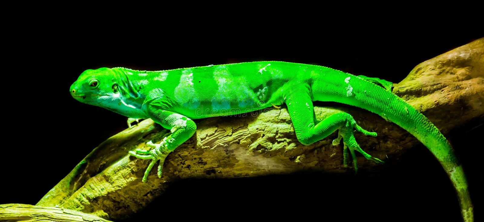 Green Fiji banded iguana laying on a tree branch, endangered tropical lizard from the fijian islands, isolated on a black. A green Fiji banded iguana laying on a royalty free stock photos