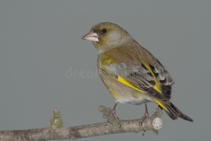Green-finch on branch royalty free stock photography