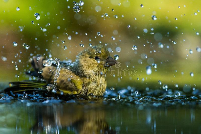 Green finch having bath in forest pond with clear bokeh background and saturated colors, Germany, bird in water,mirror reflection. Wildlife scene,Europe,bird royalty free stock images
