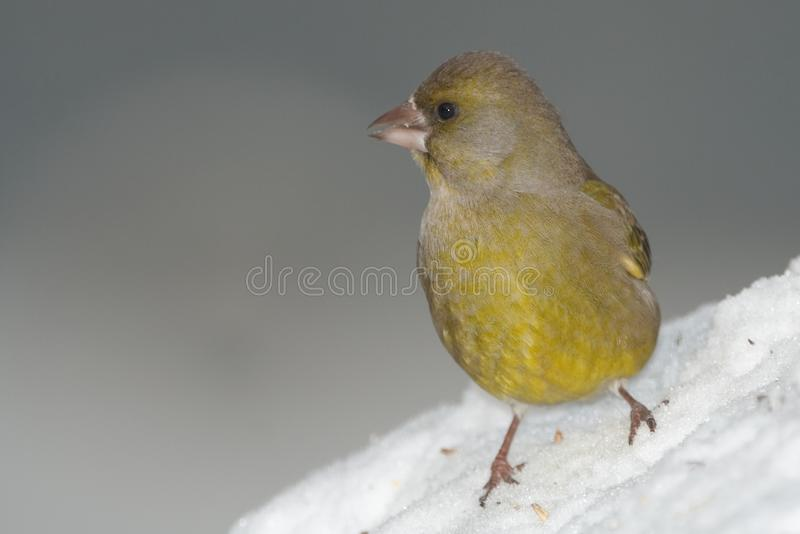 Green-finch on snow royalty free stock images