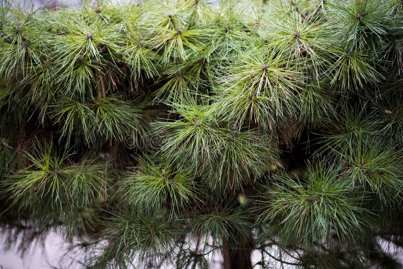 Green fir branch background. Pine tree twig closeup. Background royalty free stock image