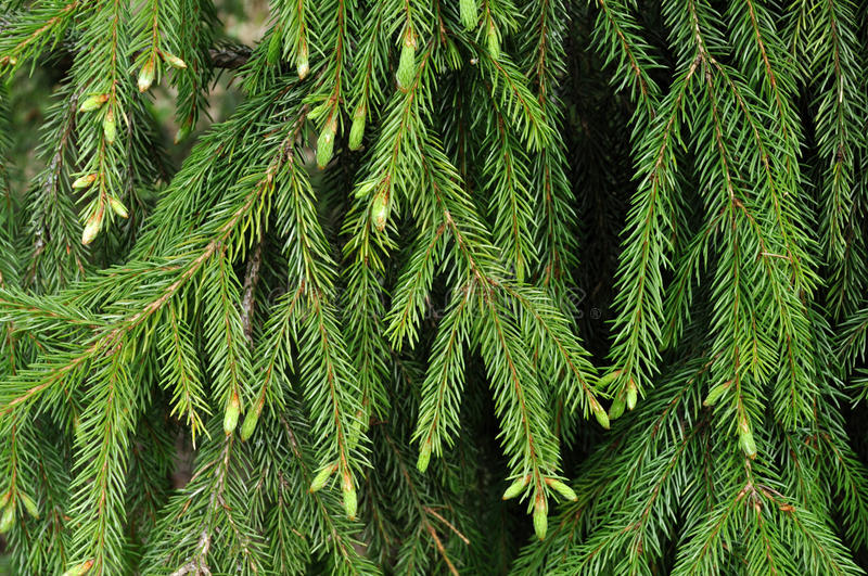 Download Green Fir Branches With New Sprouts Stock Image - Image: 14334105