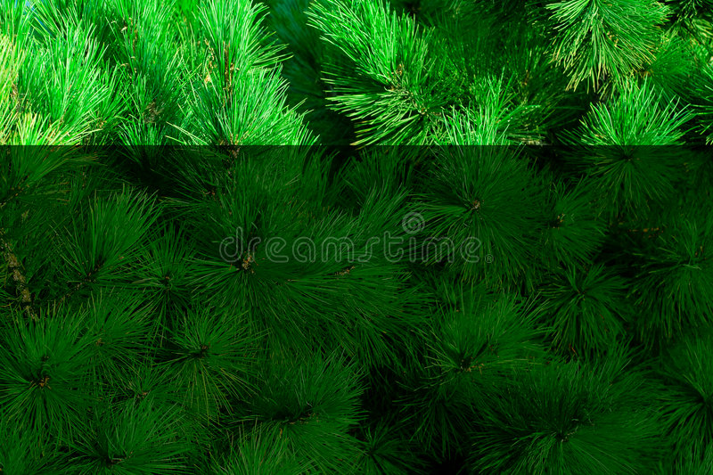 Download Green fir-needle stock photo. Image of blue, wood, evergreen - 3302338