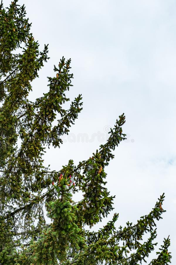 Green fir with spring red cones stock photography
