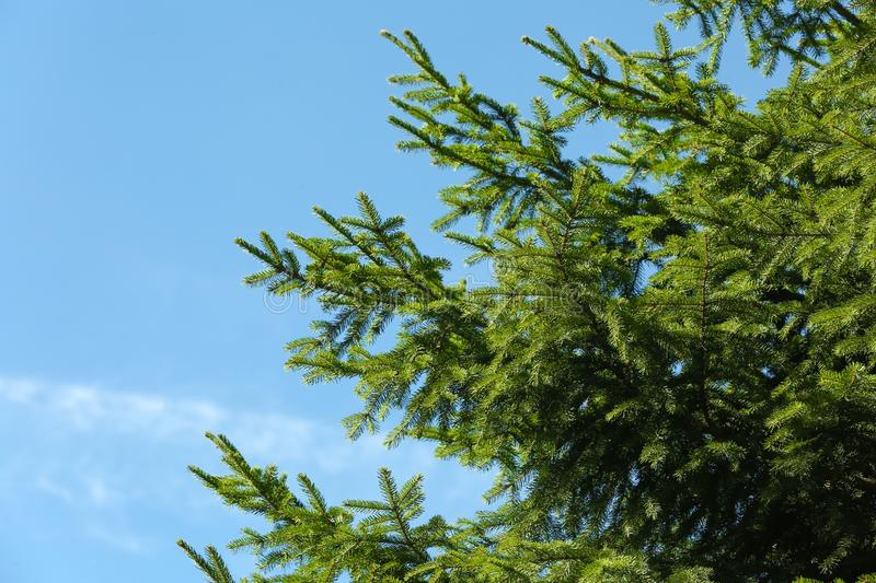 Green fir tree and blue sky on background. Space for text stock photo