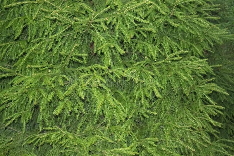 Green Fir tree branches background, close up photo. Christmas tree branches Background texture stock photo