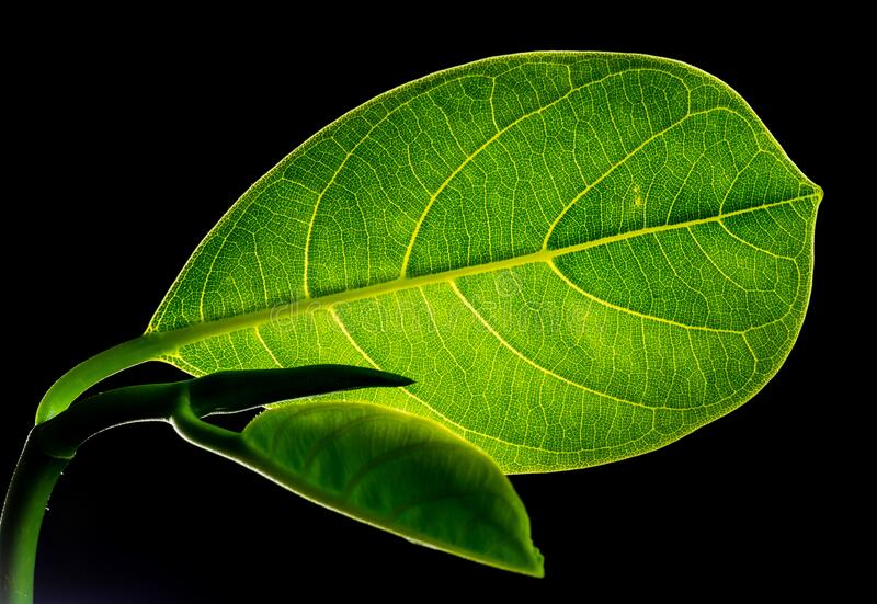 Green Flat Oblong Leaf Plant on Close Up Photography stock photography