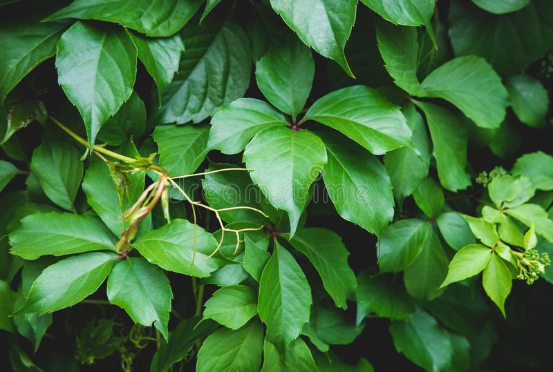 Green floral pattern of leaves. Natural background from above. Top view. stock image