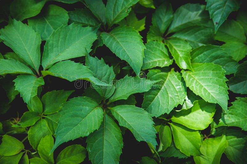 Green floral pattern of leaves. Natural background from above. Top view. stock photography
