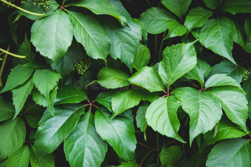 Green floral pattern of leaves. Natural background from above. Top view. royalty free stock photo