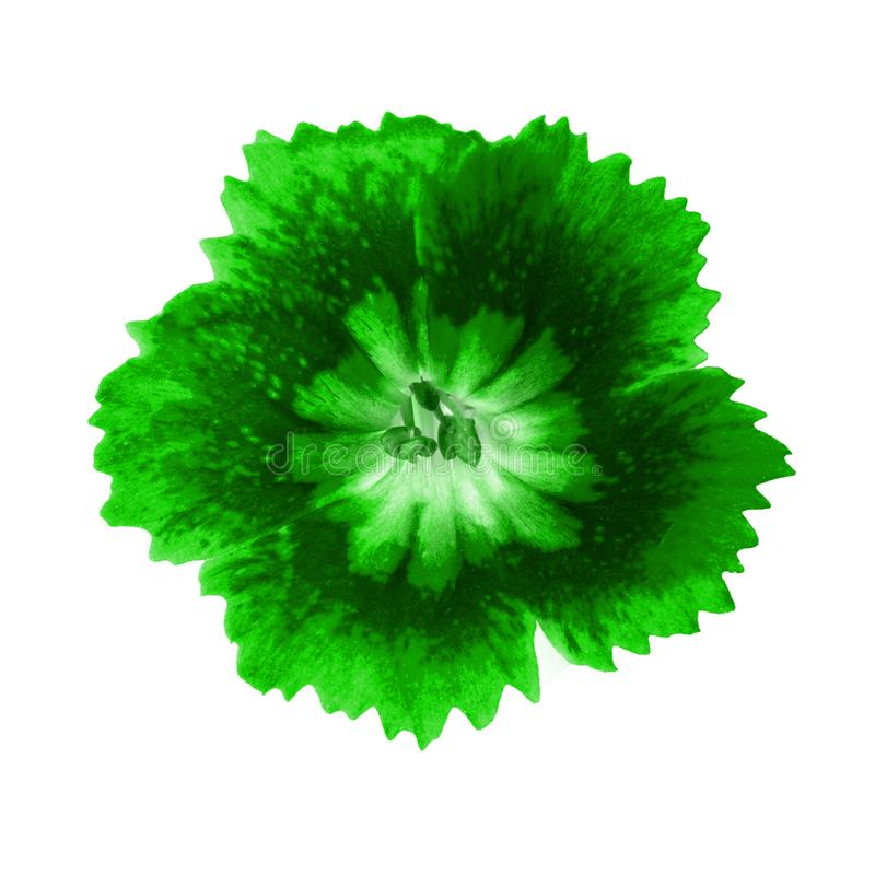 Green flower close-up. Isolated on white background. Template for design stock photos