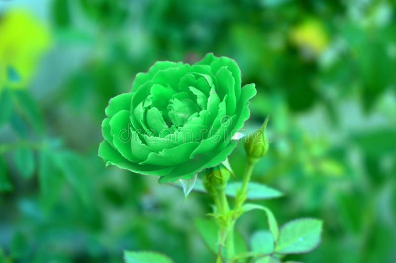 Green, Flower, Flora, Plant royalty free stock images