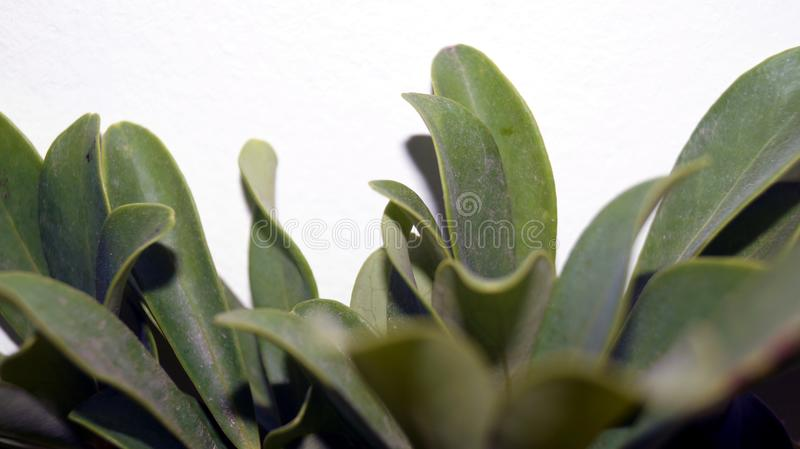 Green flower leaves, on a white background, look beautiful royalty free stock photography
