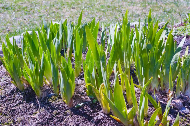 Green flowerbed with young daylily royalty free stock photos
