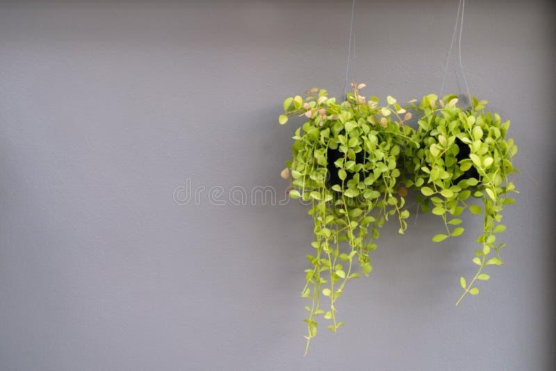 Green flowerpot on gray wall background. Thailand stock photo